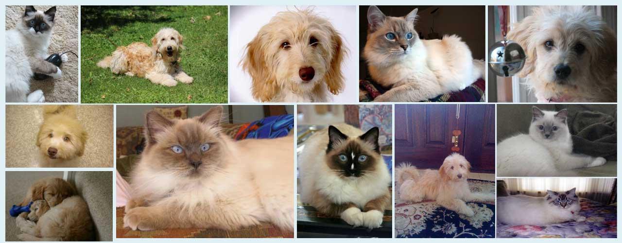 Ragdoll Kittens & Mini Goldendoodle Breeders NY, NJ, CT & MA | Pam's