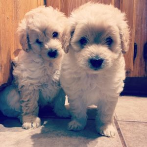 Havapoo Puppies F1b Miniature Goldendoodle Puppies For Sale In Ny