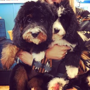 Havapoo Puppies & F1B Miniature Goldendoodle Puppies For Sale in NY